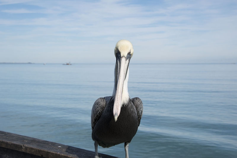 Pelican - Cocoa Beach, FL