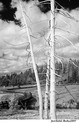 IR tree at Yellowstone (2)