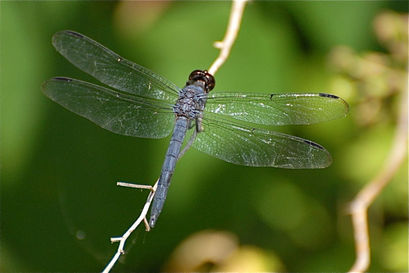 Slate Colored Dragonfly