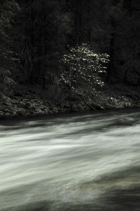 Glowing Dogwoods