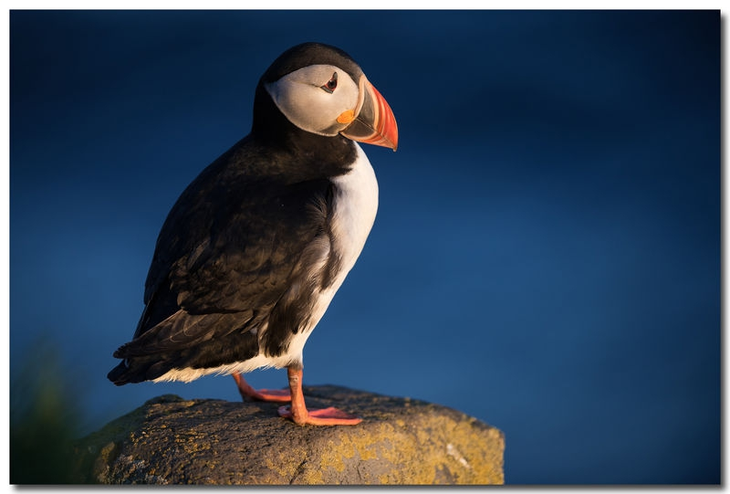 Puffin against the sea