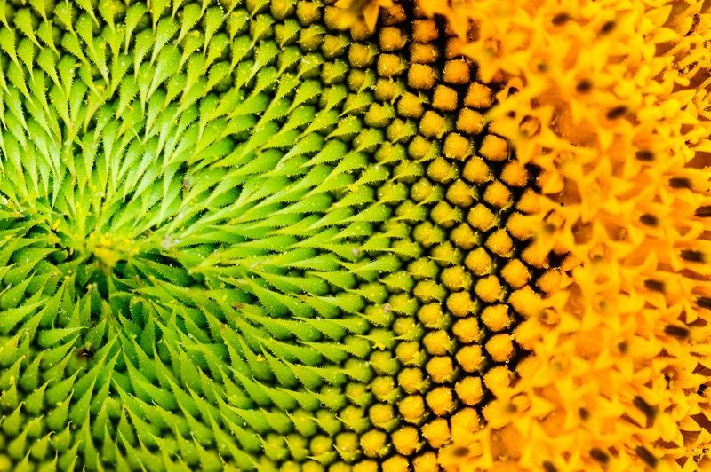 in der Sonnenblume I