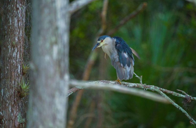 Nycticorax nycticorax-Black Crowned Night Heron