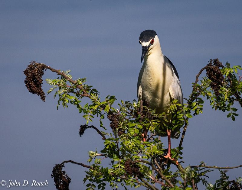 Night Heron in a Tree