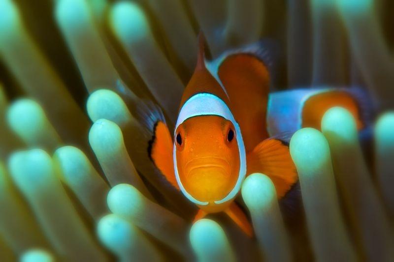 Clownfish, Dumaguete, Philippines