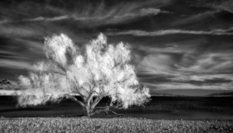 Colorado-Desert-Willow-BW
