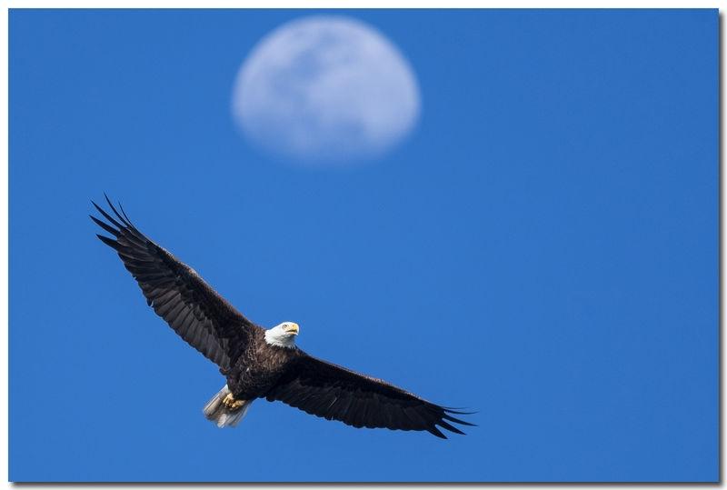 Bald Eagle with Moon