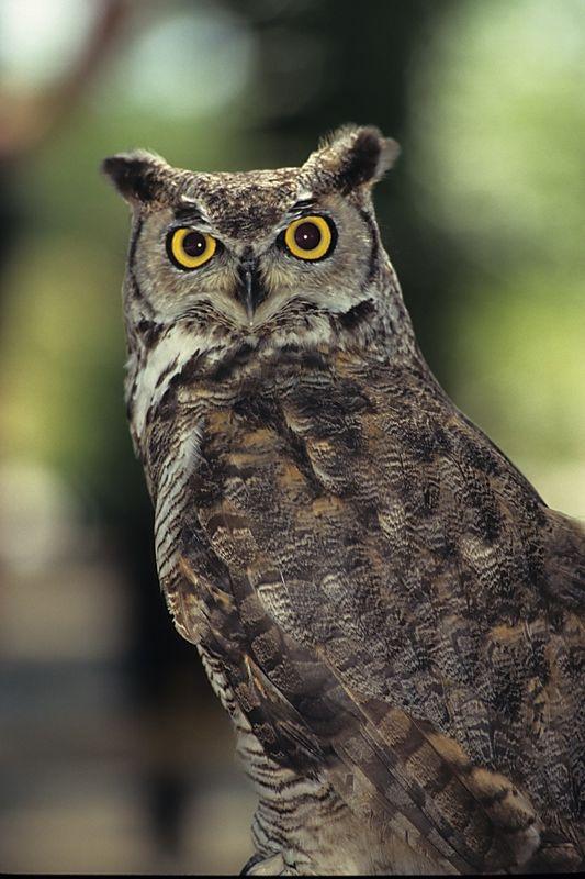 Owl-0011