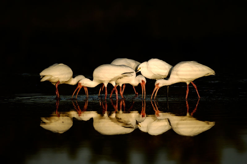 Ibis in early light