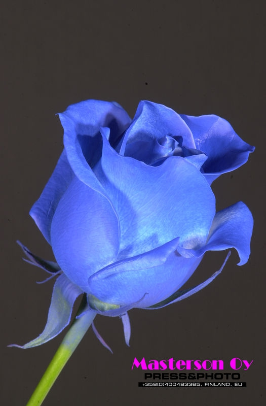 Blue rose, AD-commercial use