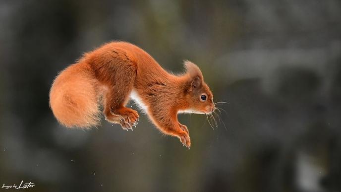 First Snow Scottish Squirrels