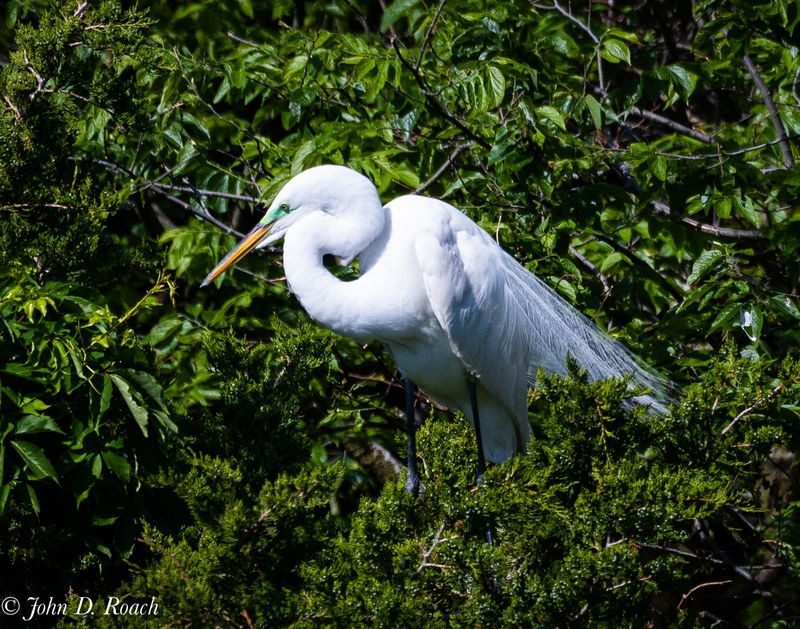 Egret in the Rookery