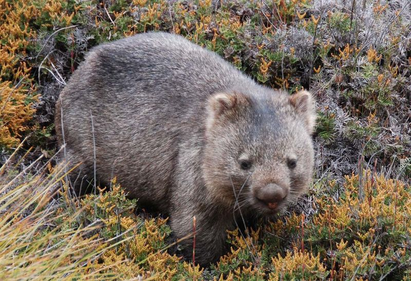 Walk with a Wombat