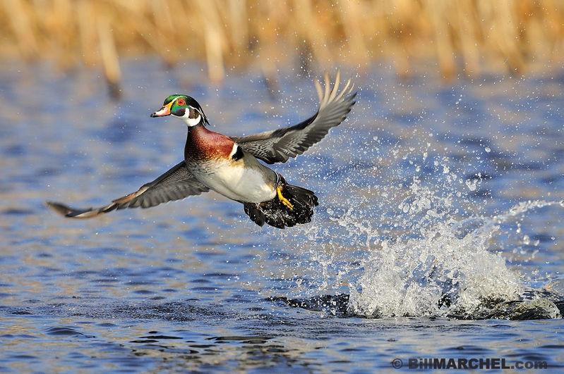Wood duck taking flight