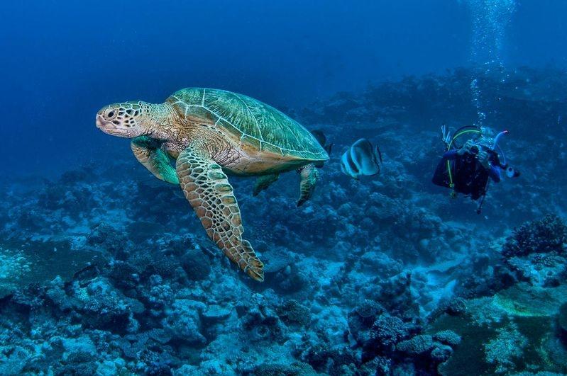 Cocos Sea Turtle