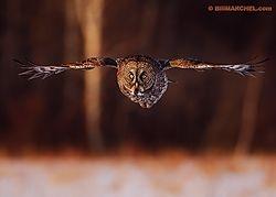 Great Gray Owl (BillMarchel)