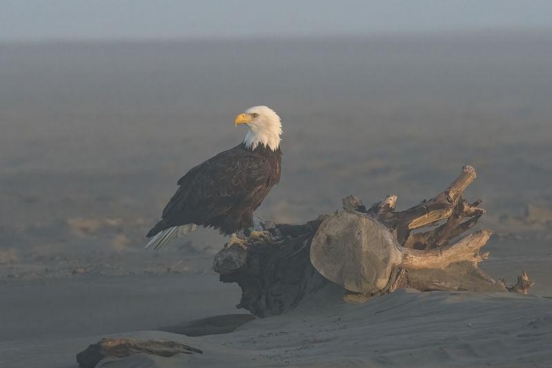 Ocean Shores Eagles