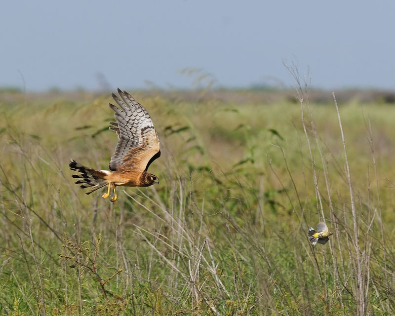 Northern Harrier chasing a Palm Warbler