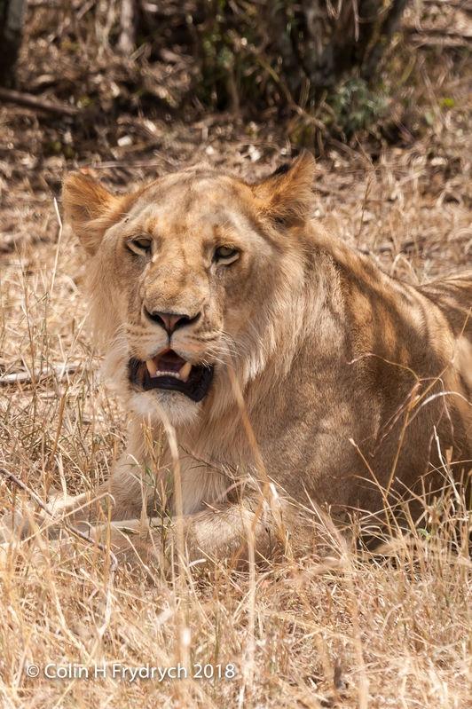 Lions_Kenya_10