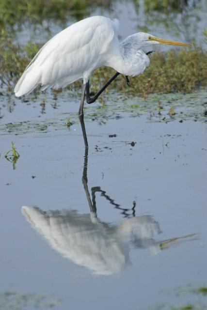 Reflections On Egret