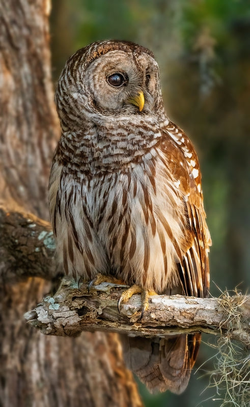Early Morning Barred Owl