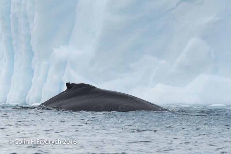238_2016-01-20_Antarctica_Humpback_Whales_Yankee_Harbour_D750_CFP2093flickr