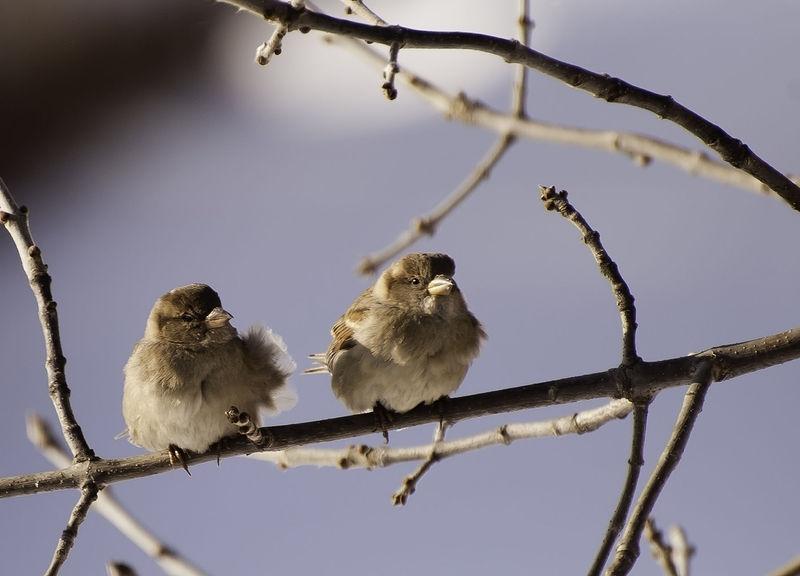 Sparrows below zero