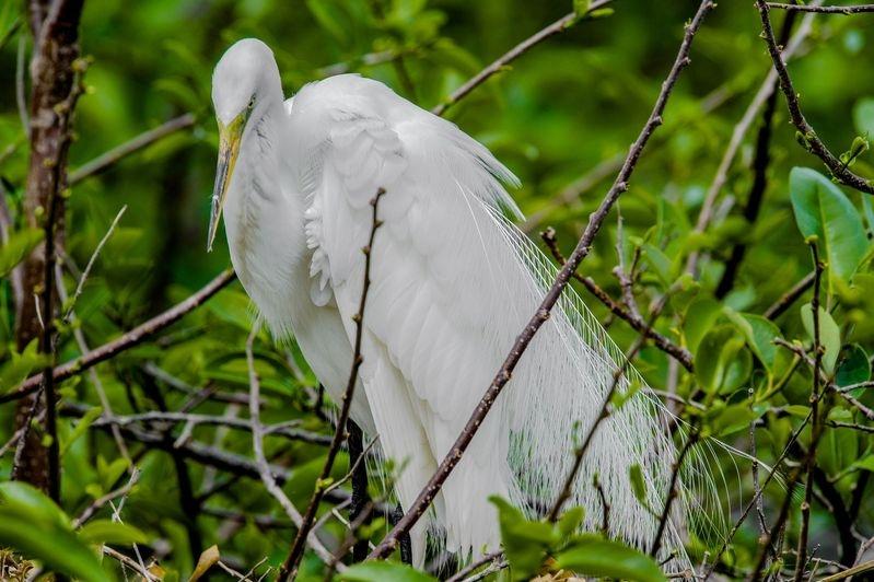 Ardea alba-Great Egret-Florida
