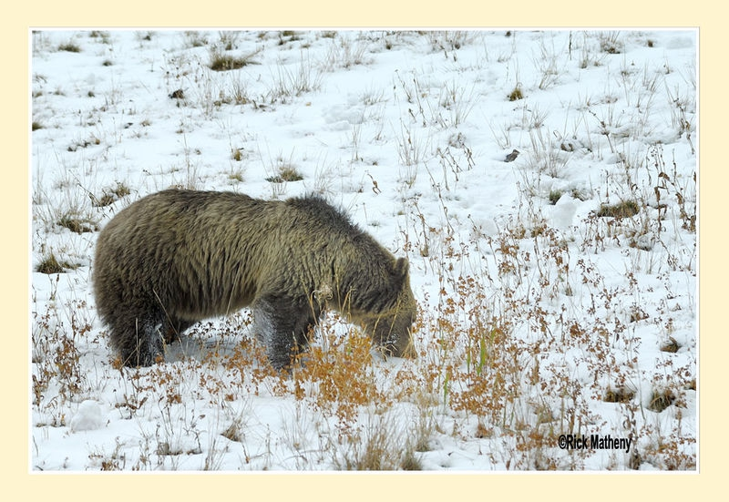 Grazing Grizzly Mom