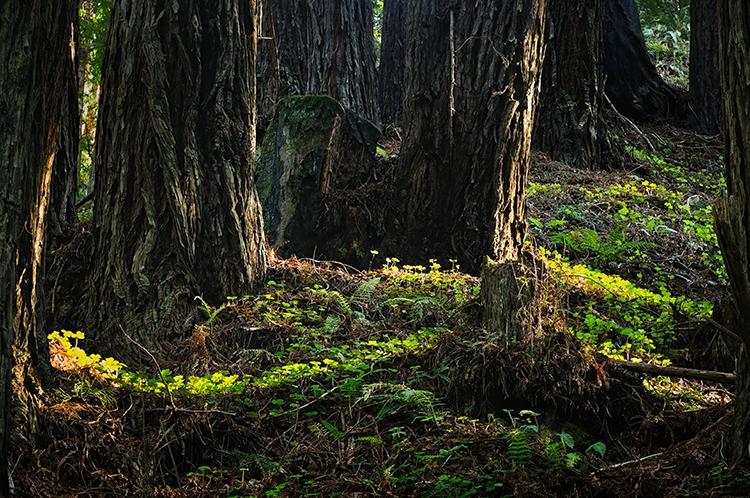Old Growth Redwoods, Big Sur
