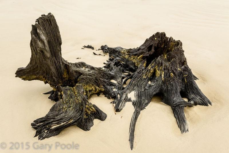 Stump, Driftwood Beach