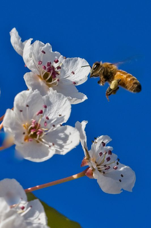 Bee in fight to Ume Flower