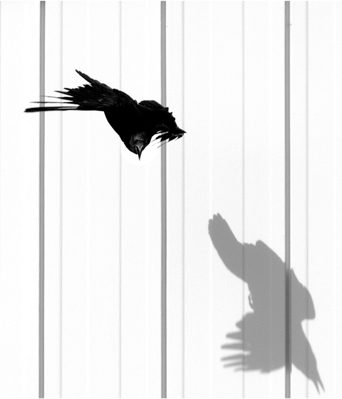 crow chasing its shadow