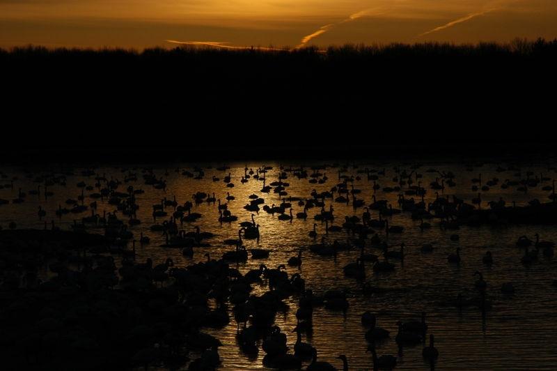 Swans at sunrise1