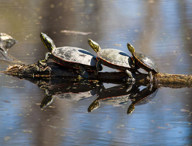 Turtles in Perspecive