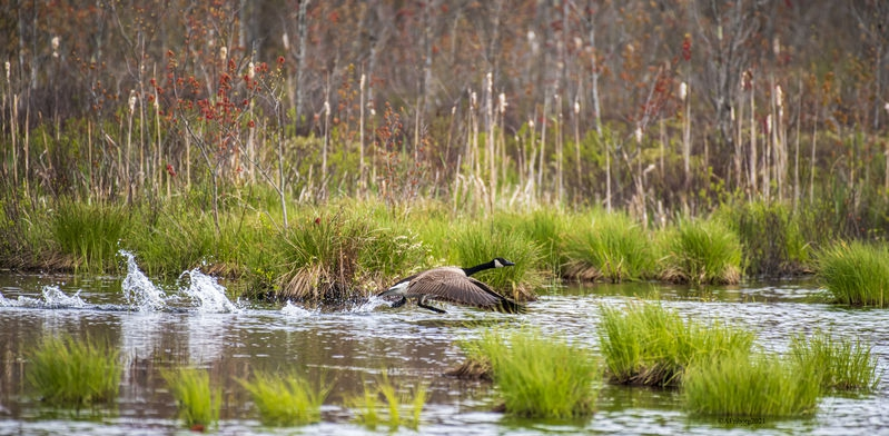 Goose Take Off