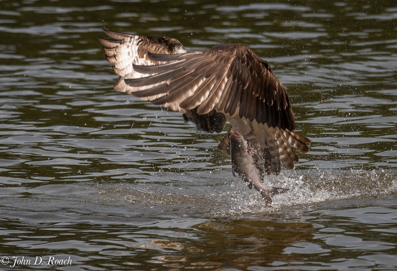 Osprey_Fishing_Sequence-9