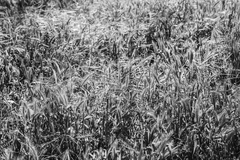 Roseville, Native Grasses