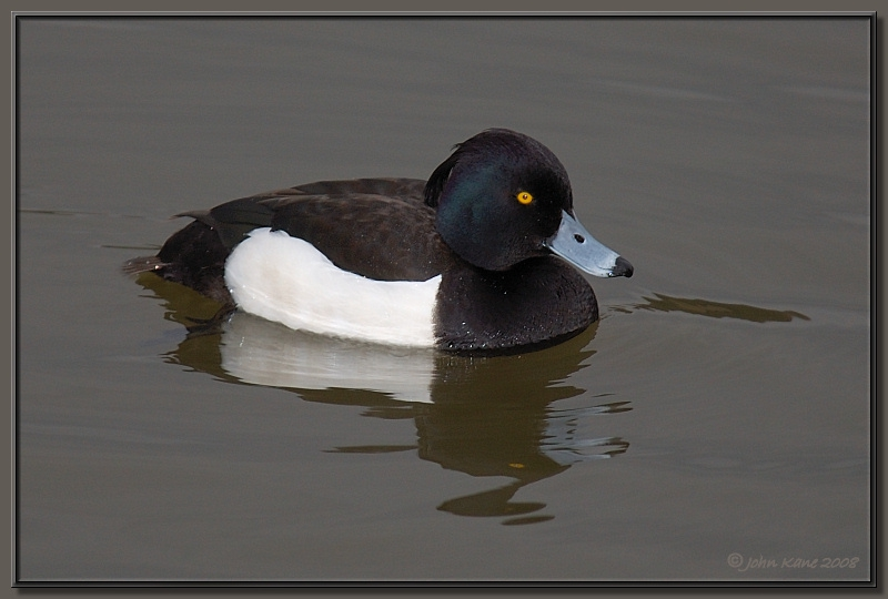 Tufted Duck - Male