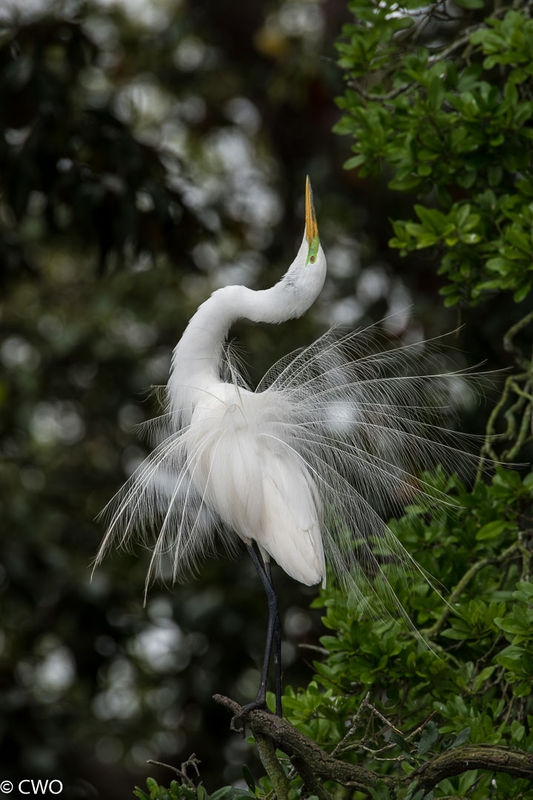 Snowy Egret Mating dance sequence