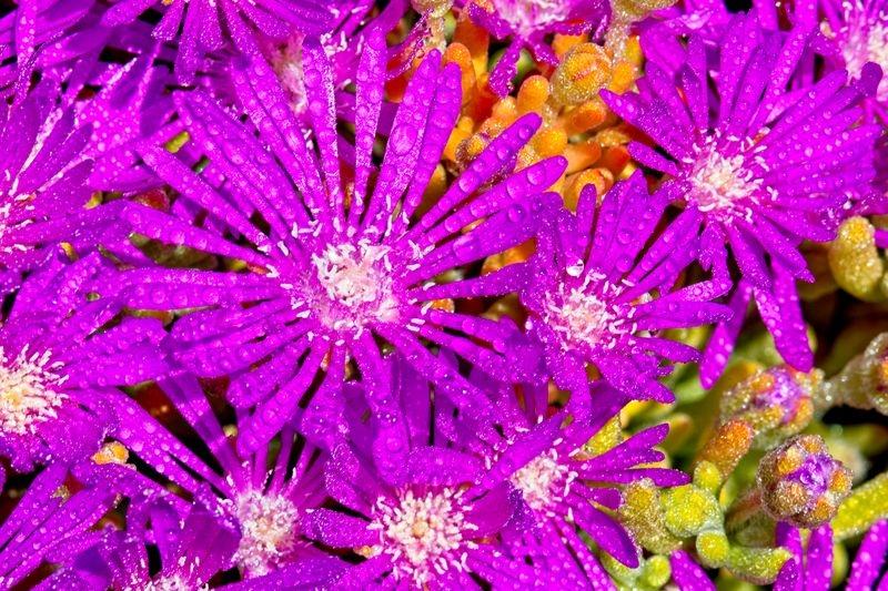 Purple Lampranthus