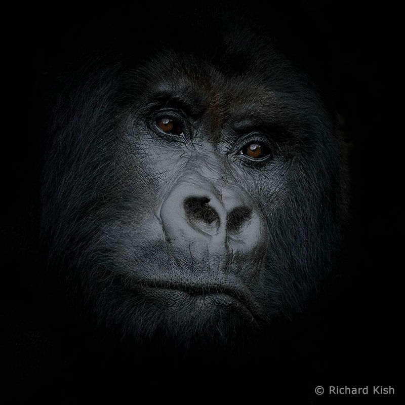 """Gorilla portrait"""