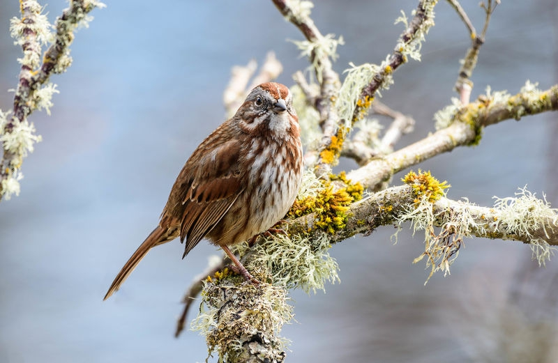 Song Sparrow:  Nisqually National Wildlife Refuge