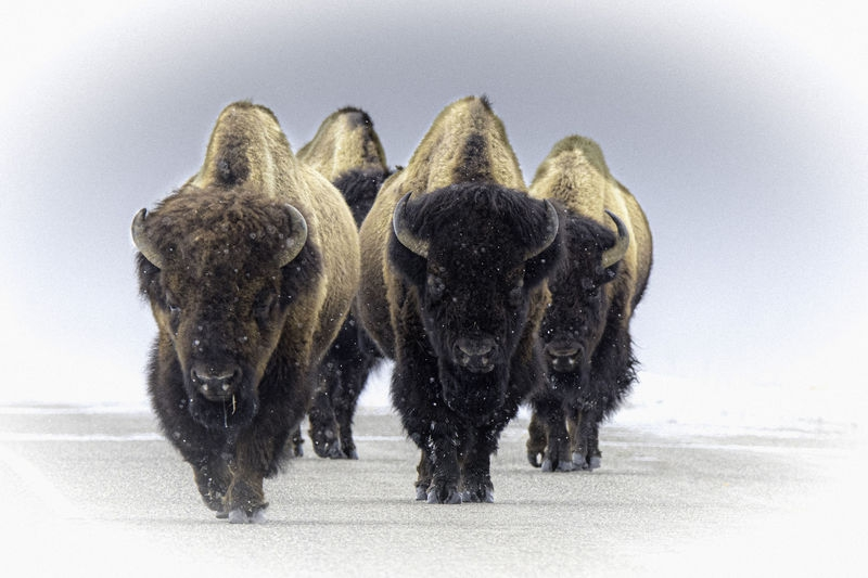 Bison on the Move