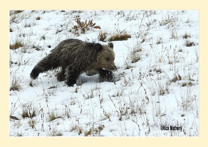Grizzly Bear Cub on the Run