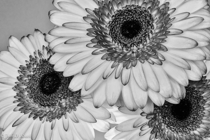 Monochrome_Daisies