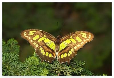 Malachite Butterfly1