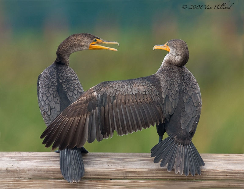 Buddies: Double-Crested Cormorants