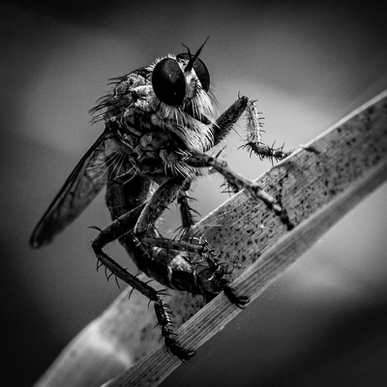 Robber Fly B&W