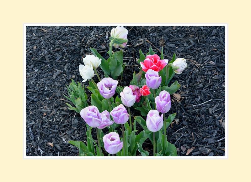 Tulips2016-4